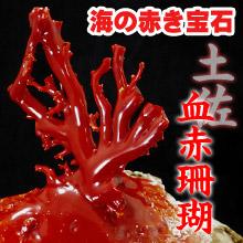希少な土佐血赤珊瑚